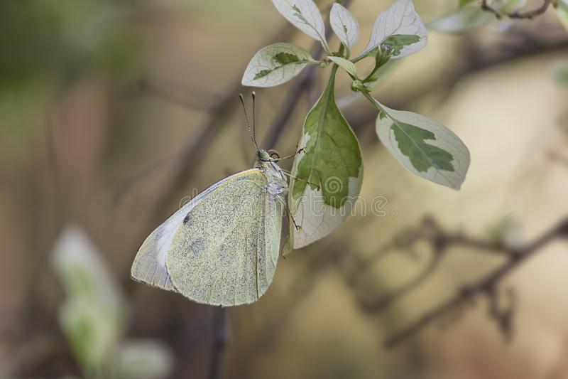 Άσπρη πεταλούδα, ευρωπαϊκό μεγάλο λάχανο στοκ φωτογραφία με δικαίωμα ελεύθερης χρήσης