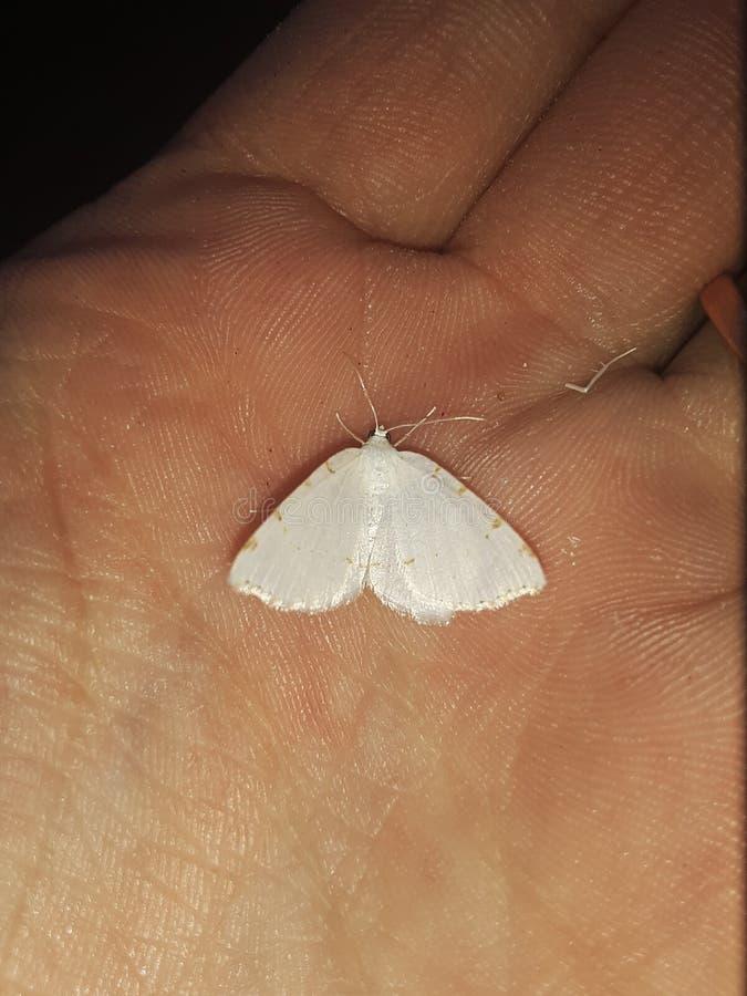 Άσπρη πεταλούδα με το πορτοκάλι στοκ εικόνα με δικαίωμα ελεύθερης χρήσης
