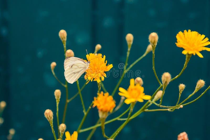 Άσπρη πεταλούδα στην κίτρινη θερινή φύση λουλουδιών στοκ φωτογραφία