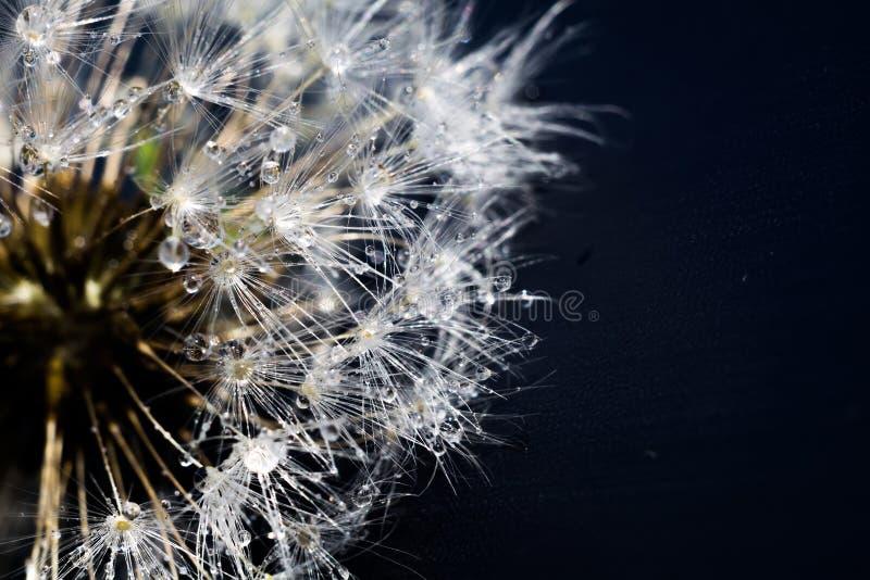 Άσπρη πικραλίδα με τις πτώσεις νερού στοκ φωτογραφία με δικαίωμα ελεύθερης χρήσης