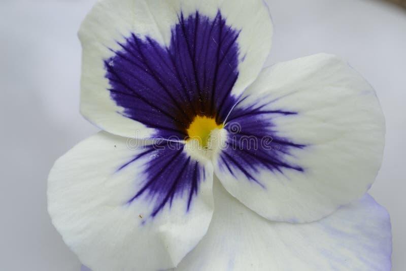 Άσπρη πορφύρα λουλουδιών Viola στοκ εικόνες