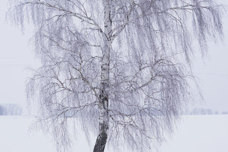 Άσπρη σημύδα στη χειμερινή παγωμένη ημέρα στοκ εικόνα με δικαίωμα ελεύθερης χρήσης