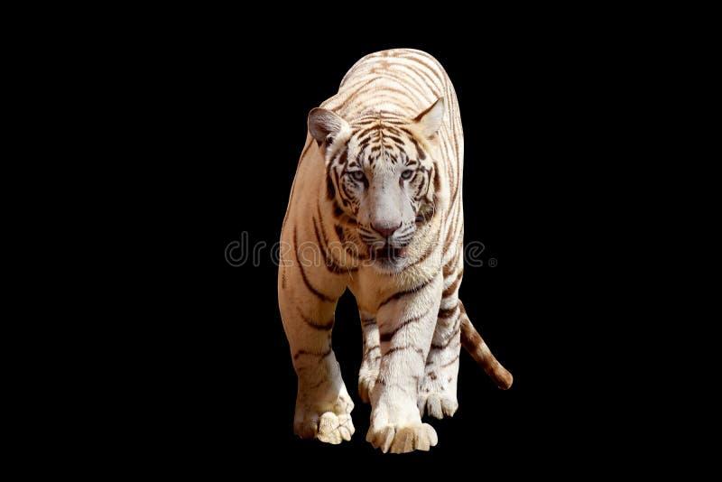 Άσπρη τίγρη με το μαύρο υπόβαθρο στοκ εικόνα