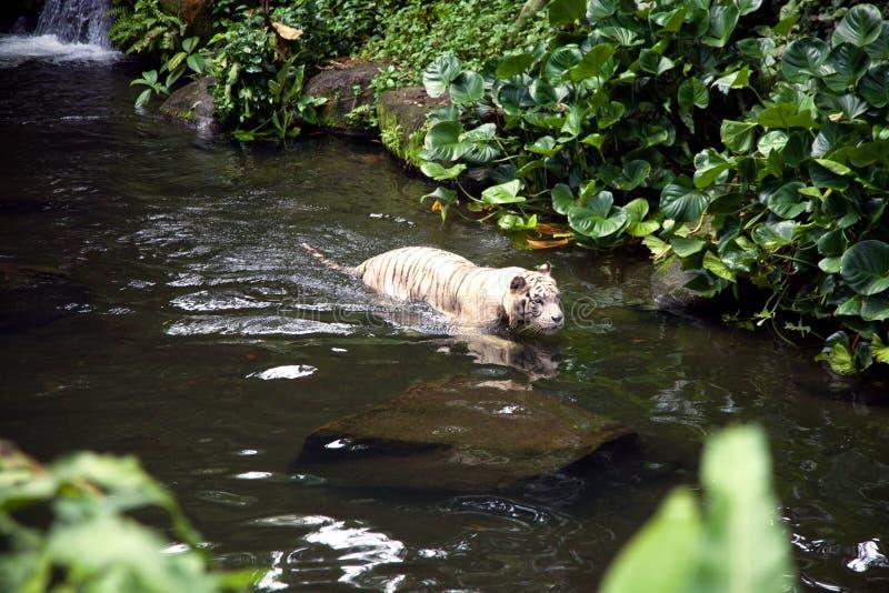 Άσπρη τίγρη που κολυμπά στον ποταμό στοκ φωτογραφία