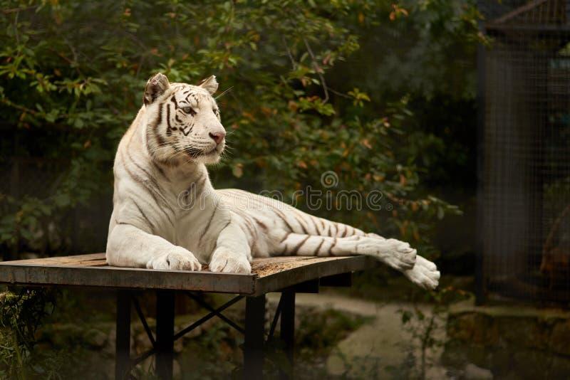 Άσπρη τίγρη σε στάση στοκ εικόνες