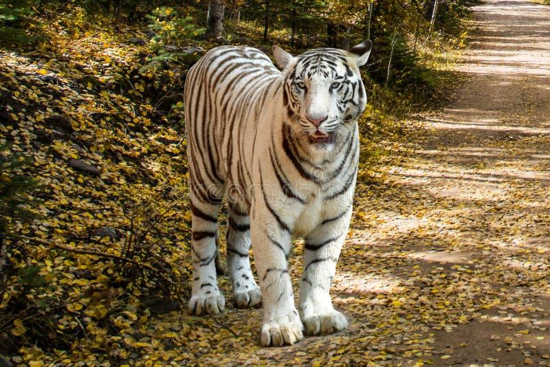 Άσπρη τίγρη στη φύση στοκ εικόνες