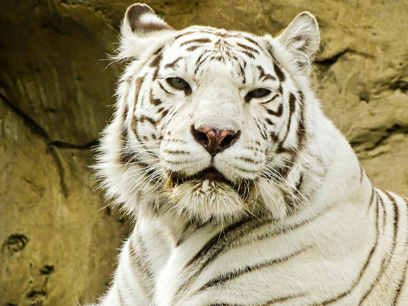 Άσπρη τίγρη στο ζωολογικό κήπο της Μόσχας στοκ φωτογραφίες με δικαίωμα ελεύθερης χρήσης