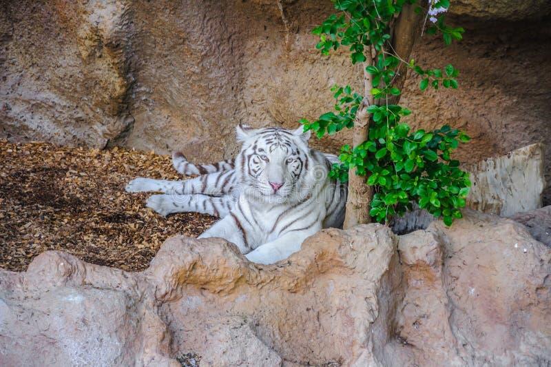 Άσπρη τίγρη της Βεγγάλης σε Loro Parque, Tenerife, Κανάρια νησιά στοκ φωτογραφία με δικαίωμα ελεύθερης χρήσης