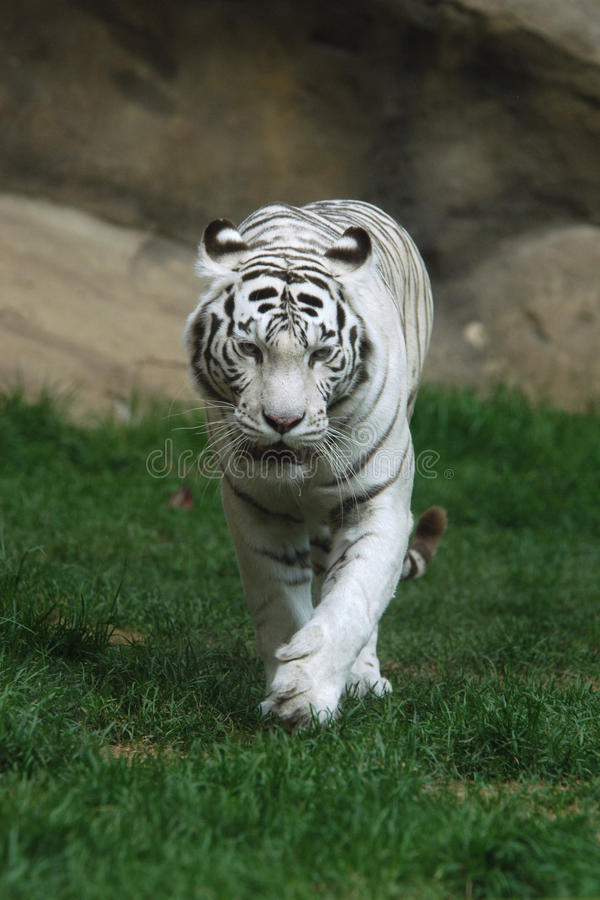 Άσπρη τίγρη στοκ εικόνες
