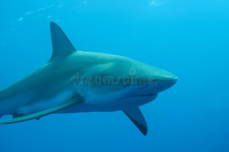 Άσπρη υποβρύχια καραϊβική θάλασσα καρχαριών στοκ εικόνες με δικαίωμα ελεύθερης χρήσης