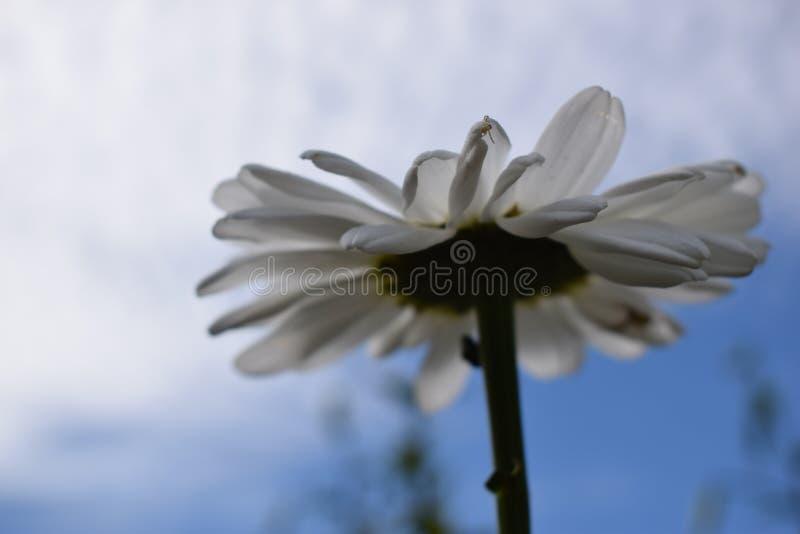 Άσπρη φωτογραφία Chamomile στο κατώτατο σημείο ενάντια στο μπλε ουρανό στοκ φωτογραφία με δικαίωμα ελεύθερης χρήσης