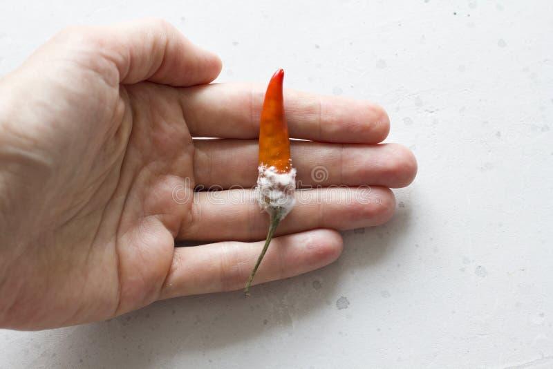 Άσπρη φόρμα στα πορτοκαλιά πιπέρια τσίλι, σε ένα σύγχρονο ανοικτό γκρι υπόβαθρο Χαλασμένα τρόφιμα, λαχανικά Το χέρι κρατά το πιπέ στοκ εικόνες με δικαίωμα ελεύθερης χρήσης