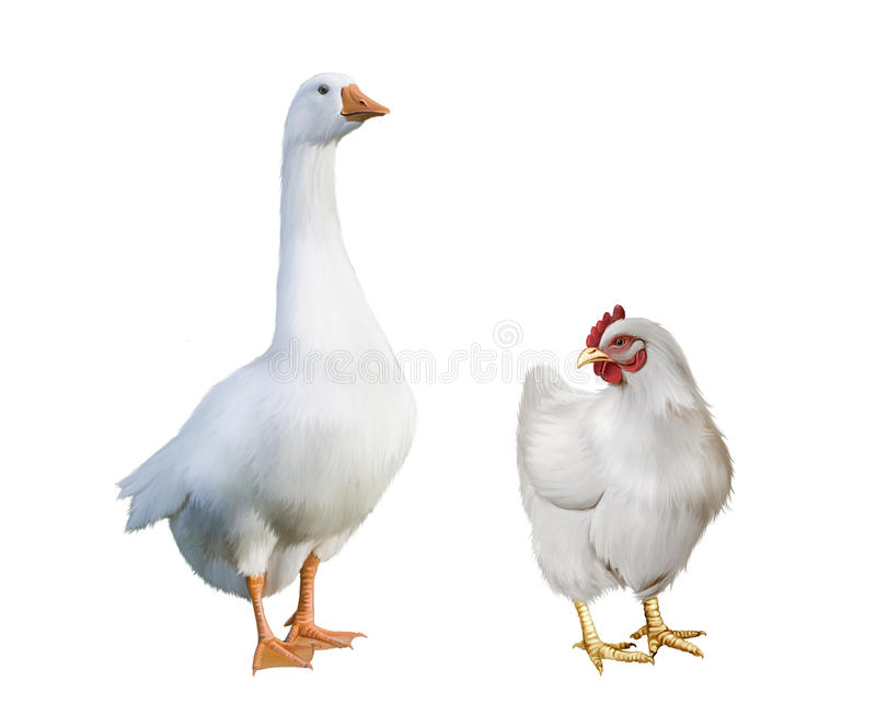 Άσπρη χήνα και άσπρο κοτόπουλο. στοκ εικόνες με δικαίωμα ελεύθερης χρήσης