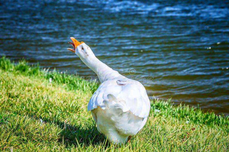 Άσπρη χήνα στην ακτή λιμνών στοκ φωτογραφίες με δικαίωμα ελεύθερης χρήσης
