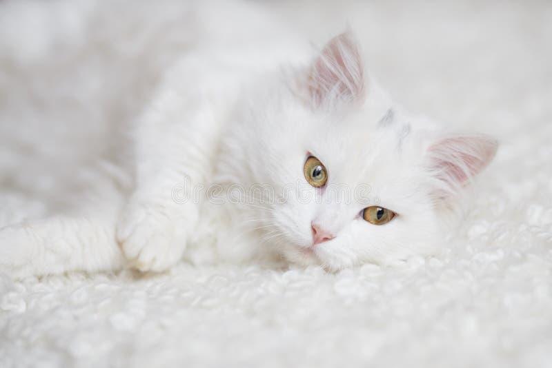 Άσπρη χνουδωτή γάτα που βρίσκεται στο άσπρο λεωφορείο στοκ εικόνες