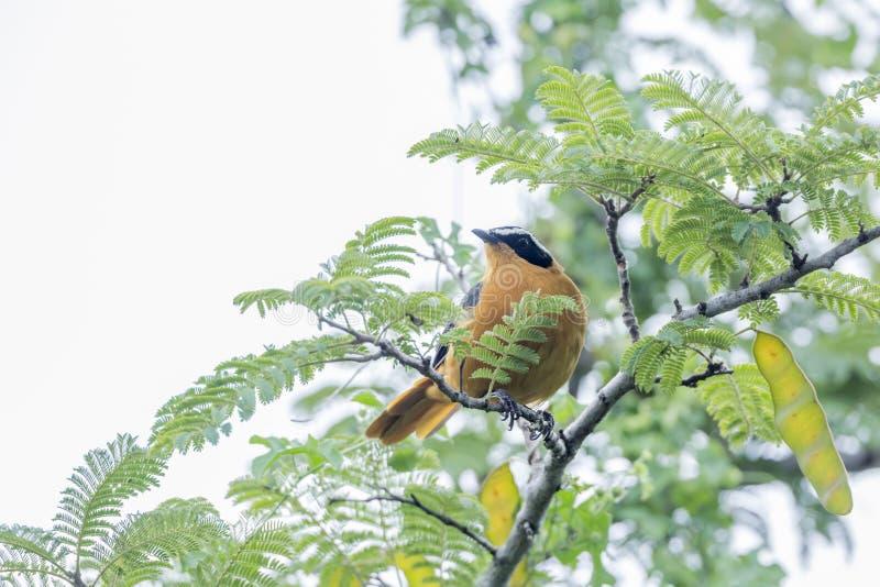 Άσπρη browed Robin-συνομιλία στο εθνικό πάρκο Kruger, Νότια Αφρική στοκ εικόνες