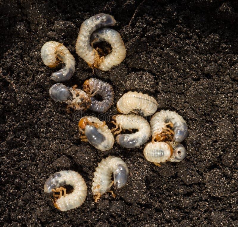 Άσπρη chafer προνύμφη στα πλαίσια του χώματος Προνύμφη του κανθάρου Μαΐου Γεωργικό παράσιτο στοκ εικόνα