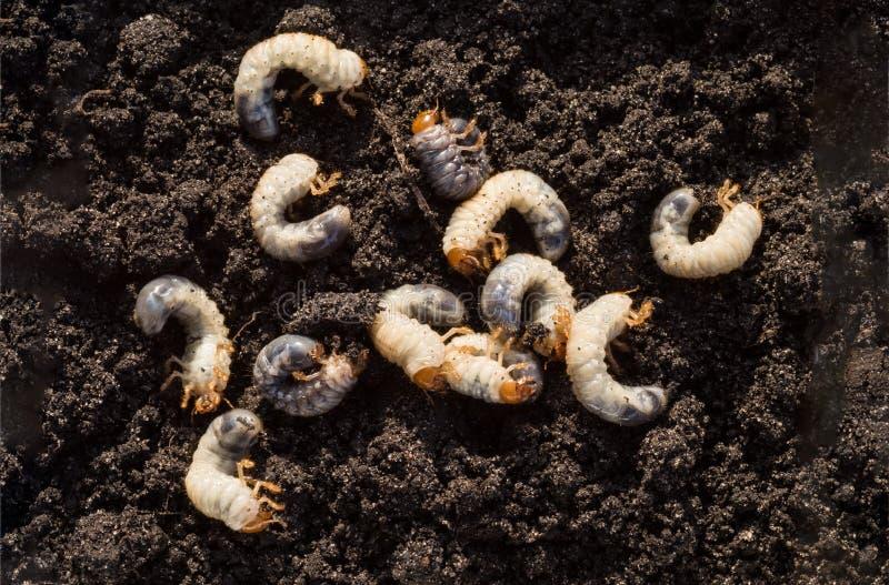 Άσπρη chafer προνύμφη στα πλαίσια του χώματος Προνύμφη του κανθάρου Μαΐου στοκ εικόνες με δικαίωμα ελεύθερης χρήσης