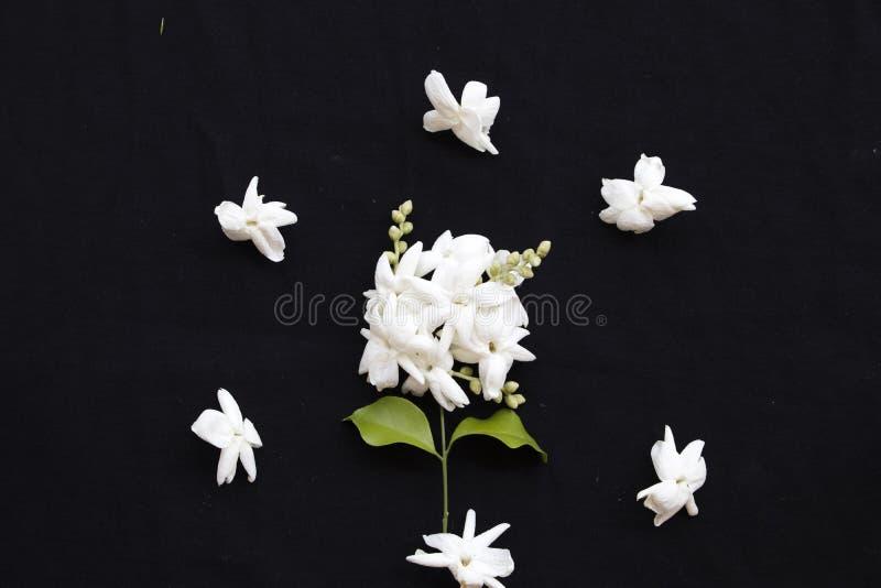 Άσπρη jasmine λουλουδιών τοπική χλωρίδα της Ασίας στο Μαύρο στοκ εικόνες
