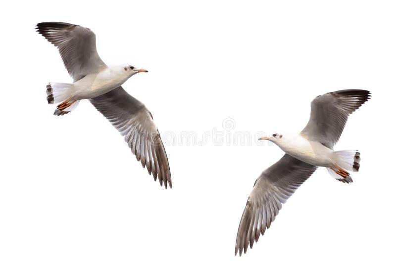 Άσπρη seagull ανύψωση στοκ φωτογραφία