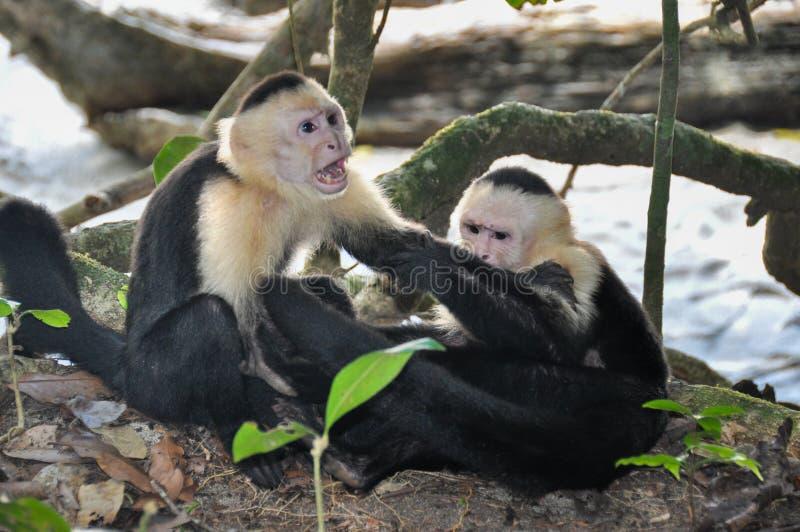 Άσπροι αντιμέτωποι Capuchin πίθηκοι στο εθνικό πάρκο του Manuel Antonio, κοβάλτιο στοκ εικόνες