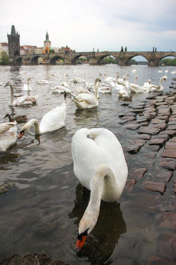 Άσπροι κύκνοι στον ποταμό Vltava δίπλα στη γέφυρα του Charles, Πράγα, Δημοκρατία της Τσεχίας Έλξη τουρισμού στοκ εικόνες με δικαίωμα ελεύθερης χρήσης