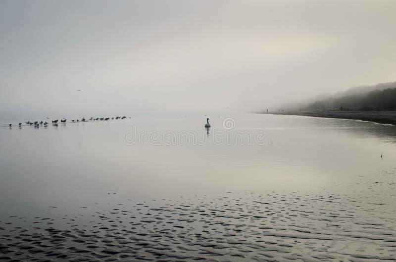 Άσπροι κύκνος και seagulls που κολυμπούν κοντά στην ακτή της θάλασσας της Βαλτικής στοκ φωτογραφία με δικαίωμα ελεύθερης χρήσης