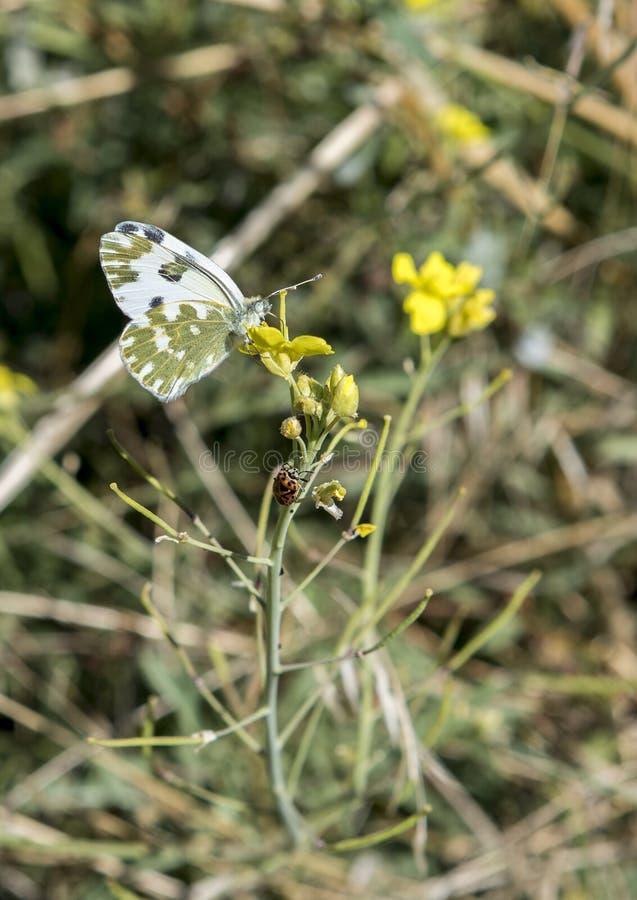 Άσπροι πεταλούδα λουτρών και κάνθαρος Ladybug σε ένα κίτρινο λουλούδι σε $matera, Ιταλία στοκ εικόνες