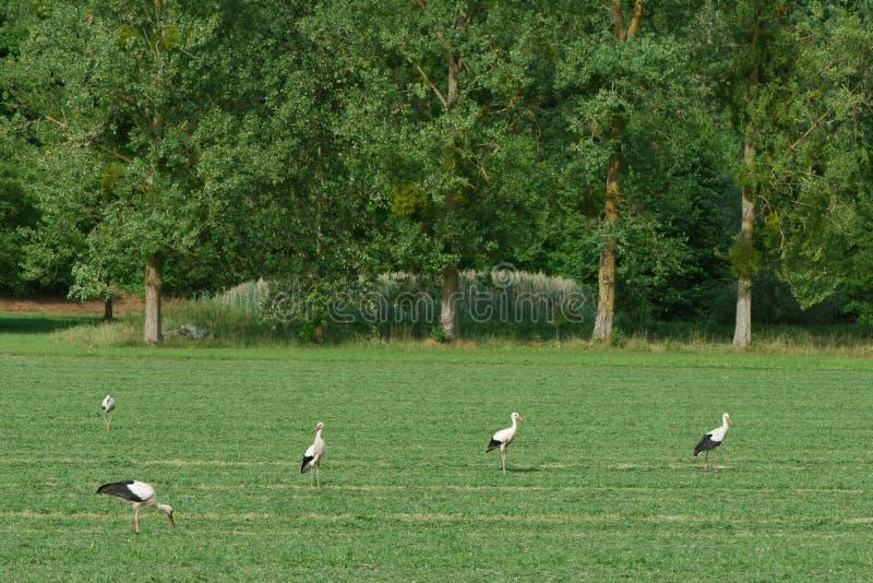 Άσπροι πελαργοί που περπατούν σε έναν πράσινο τομέα στοκ φωτογραφία με δικαίωμα ελεύθερης χρήσης