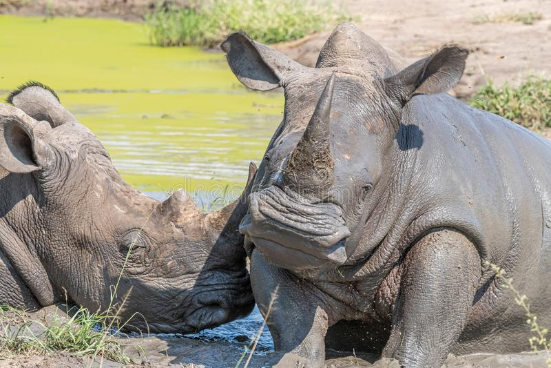 Άσπροι ρινόκεροι που παίρνουν ένα mudbath στοκ εικόνες