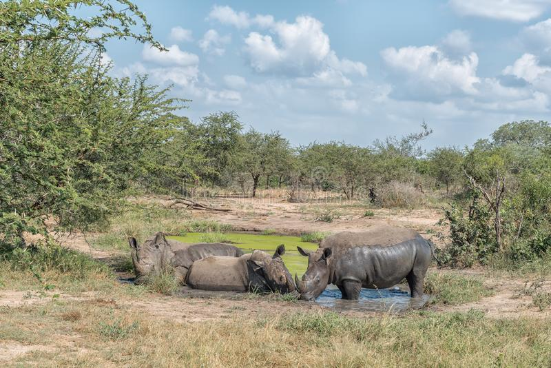 Άσπροι ρινόκεροι που παίρνουν ένα mudbath στοκ φωτογραφία με δικαίωμα ελεύθερης χρήσης