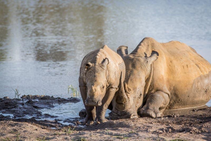 Άσπροι ρινόκερος μητέρων και μόσχος μωρών από το νερό στοκ φωτογραφίες