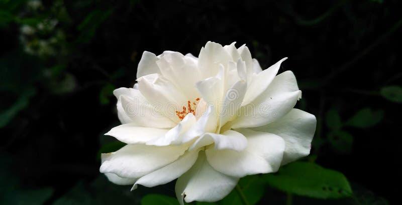 Άσπρος ένας όμορφος αυξήθηκε στοκ φωτογραφίες