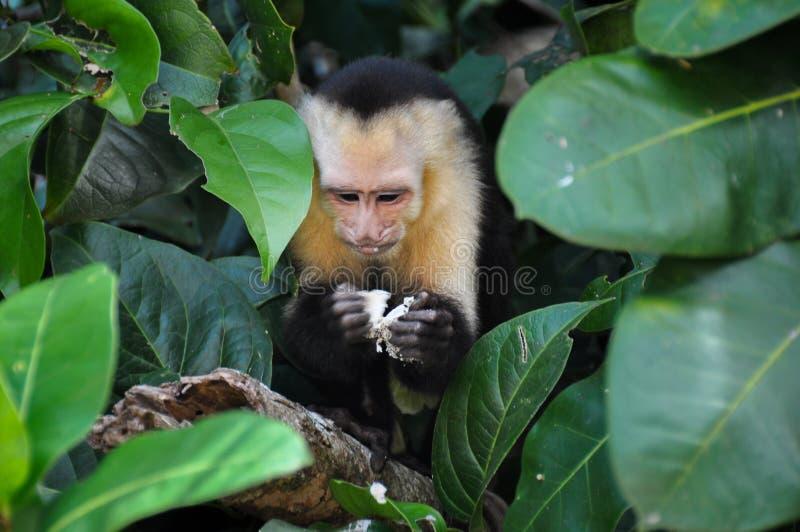 Άσπρος αντιμέτωπος Capuchin πίθηκος στο εθνικό πάρκο του Manuel Antonio, μαρούλι στοκ φωτογραφία
