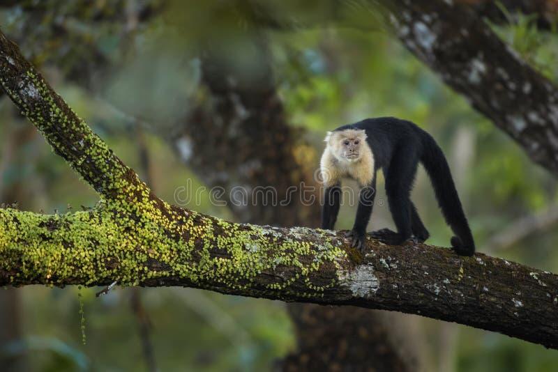 Άσπρος-αντιμέτωπο Capuchin - capucinus Cebus στοκ φωτογραφία με δικαίωμα ελεύθερης χρήσης