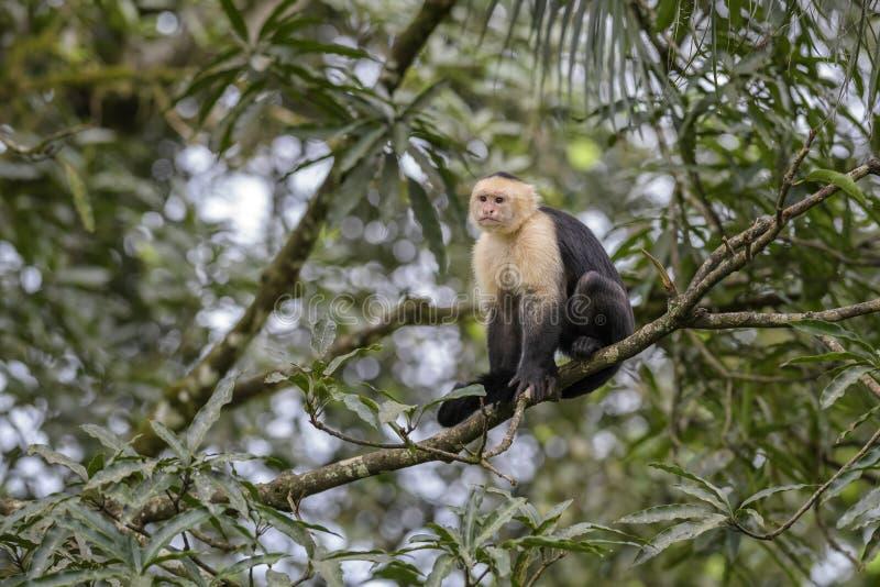 Άσπρος-αντιμέτωπο Capuchin - capucinus Cebus στοκ εικόνες