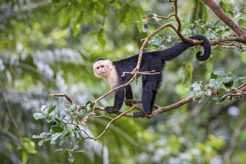Άσπρος-αντιμέτωπο Capuchin - capucinus Cebus στοκ εικόνα