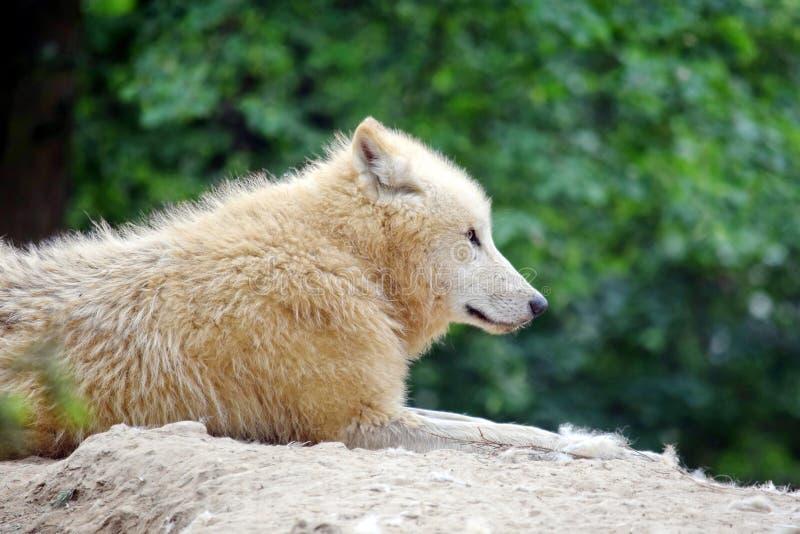 Άσπρος αρκτικός λύκος που βρίσκεται στο βράχο στο δάσος στοκ φωτογραφίες με δικαίωμα ελεύθερης χρήσης