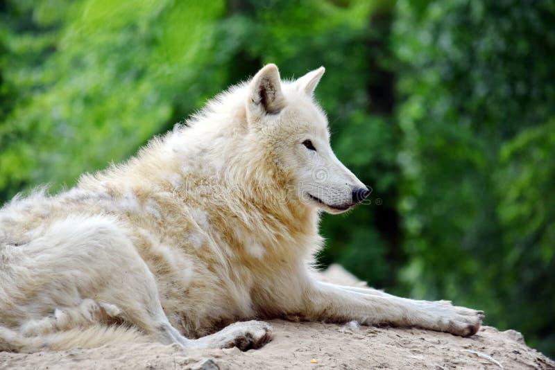 Άσπρος αρκτικός λύκος που βρίσκεται στο δασικό πορτρέτο στοκ εικόνες
