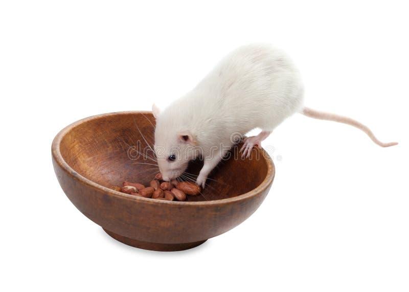 Άσπρος αρουραίος που τρώει τα φυστίκια από το ξύλινο πιάτο στοκ φωτογραφίες