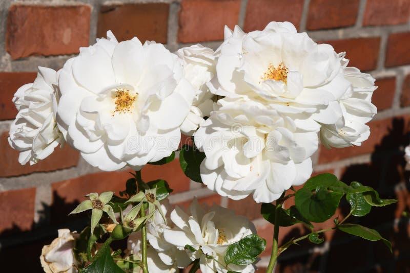 Άσπρος αυξήθηκε λουλούδια στοκ εικόνες με δικαίωμα ελεύθερης χρήσης