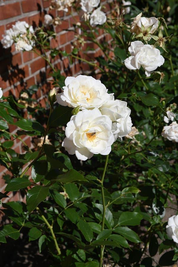 Άσπρος αυξήθηκε λουλούδια στοκ φωτογραφία με δικαίωμα ελεύθερης χρήσης