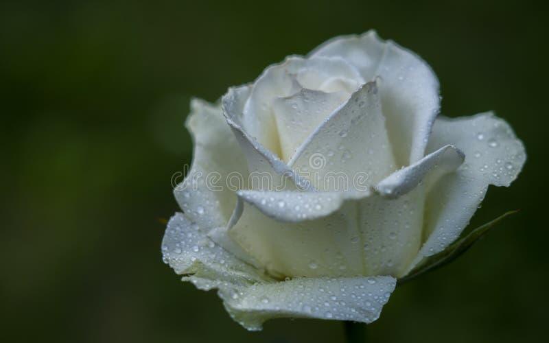 Άσπρος αυξήθηκε λουλούδι στην κινηματογράφηση σε πρώτο πλάνο πτώσεων δροσιάς σε ένα υπόβαθρο της θολωμένης πρασινάδας στοκ εικόνα με δικαίωμα ελεύθερης χρήσης