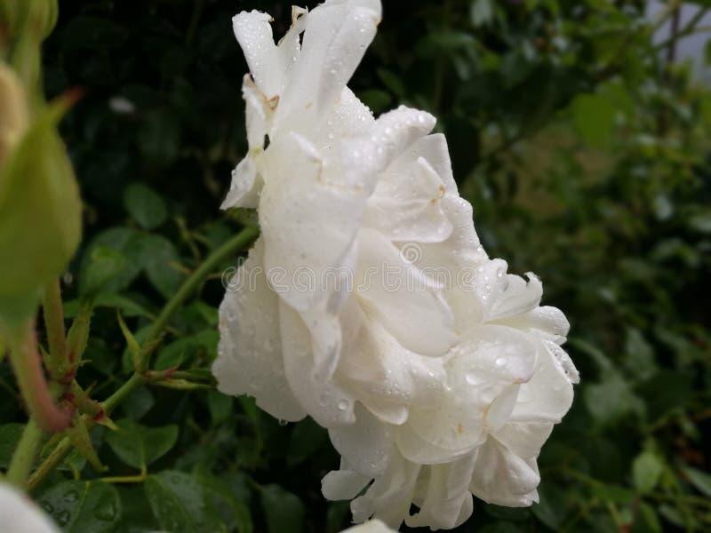 Άσπρος αυξήθηκε μετά από τη βροχή στοκ εικόνες
