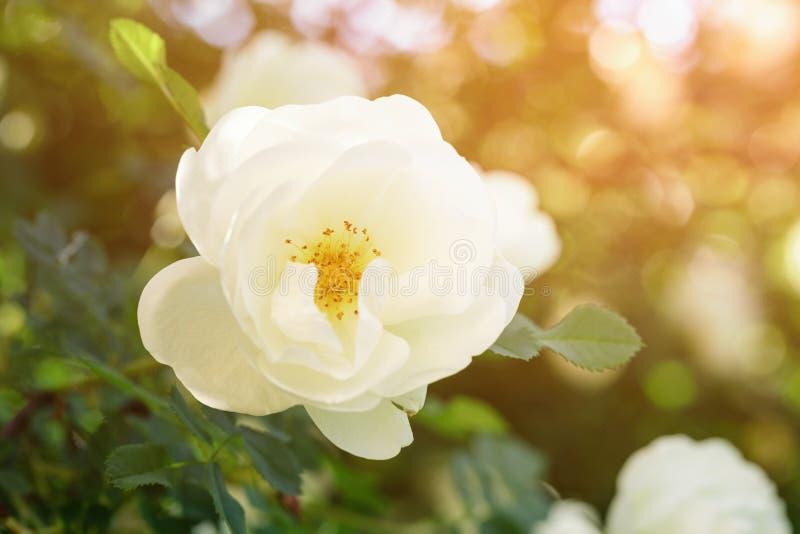 Άσπρος αυξήθηκε λουλούδι στη φωτογραφία κινηματογραφήσεων σε πρώτο πλάνο θάμνων στοκ φωτογραφία
