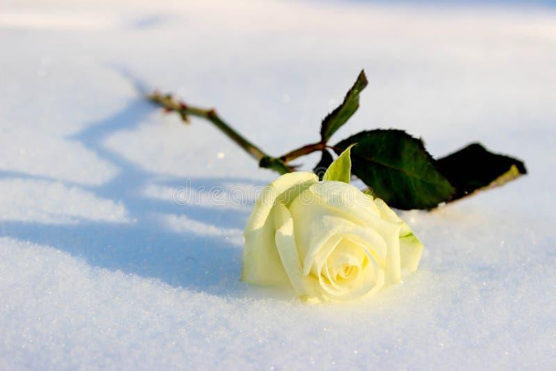 Άσπρος αυξήθηκε σε ένα κρύο χειμερινό χιόνι στοκ εικόνα