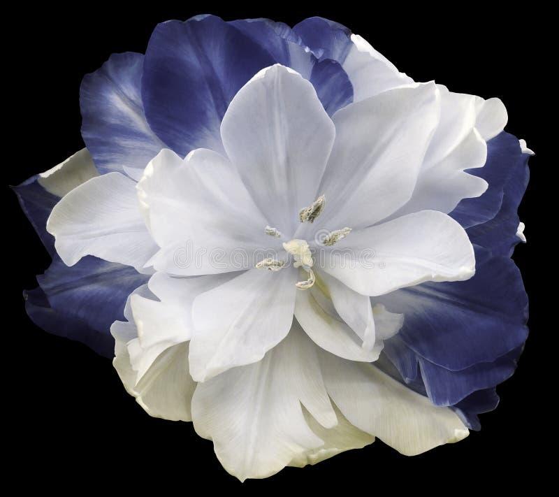 Άσπρος-γκρίζος-μπλε λουλούδι τουλιπών απομονωμένο στο ο Μαύρος υπόβαθρο με το ψαλίδισμα της πορείας Καμία σκιά closeup στοκ εικόνες