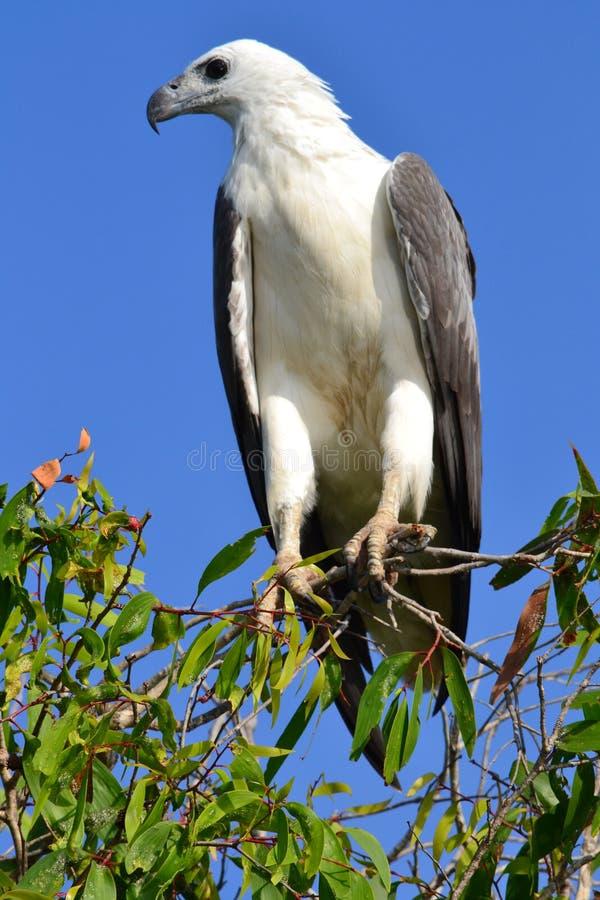 Άσπρος διογκωμένος αετός θάλασσας σε Kakadu στοκ φωτογραφίες