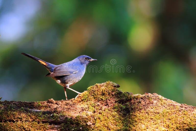 Άσπρος-διογκωμένο Redstart στοκ φωτογραφία με δικαίωμα ελεύθερης χρήσης