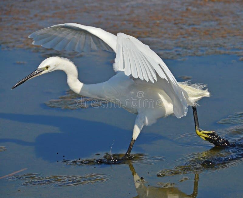 Άσπρος ερωδιός που τρέχει στην επιφάνεια έλους στοκ εικόνα με δικαίωμα ελεύθερης χρήσης